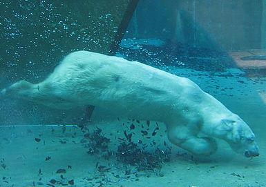 Polar Bear Diving