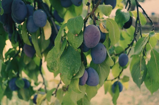 plums-1639180_640
